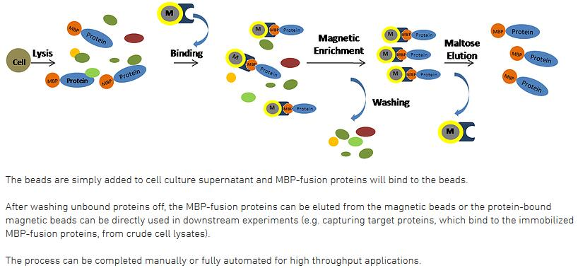 system magnetic g workflow com surebeads beads rad protein bio from immunoprecipitation biocompare